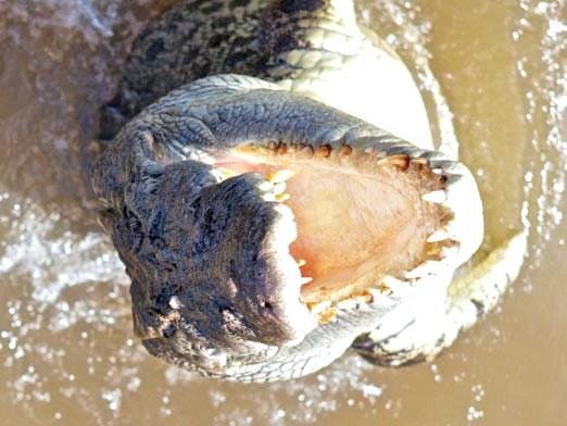 Фото - Скільки живуть крокодили?