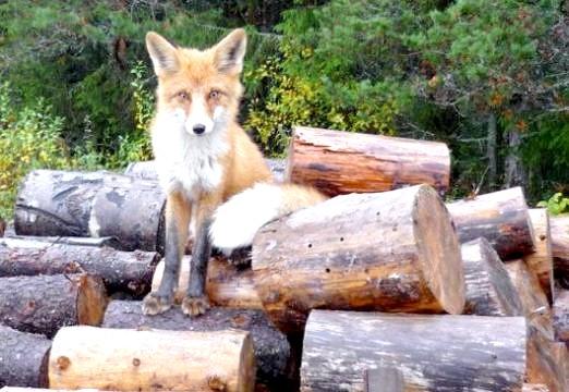 Фото - Скільки живуть лисиці?