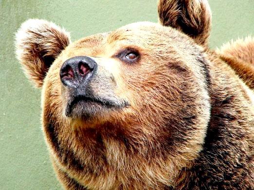 Фото - Скільки живуть ведмеді?