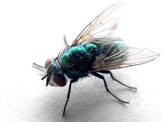 Фото - Скільки живуть мухи?