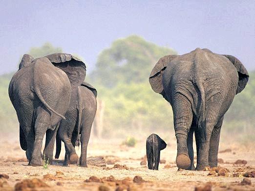 Фото - Скільки живуть слони?