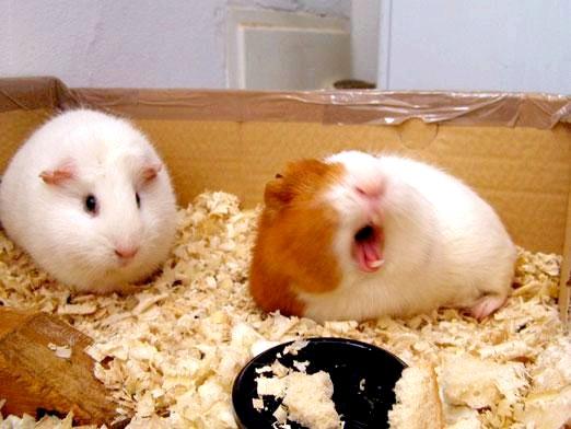 Фото - Скільки живуть свинки?