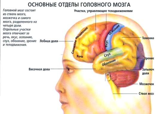 Фото - За що відповідає головний мозок?