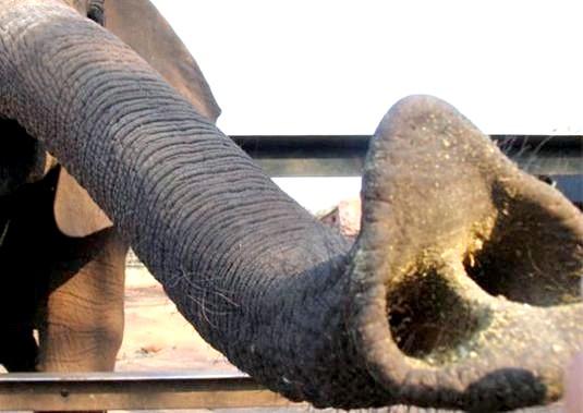 Фото - Навіщо слонові хобот?