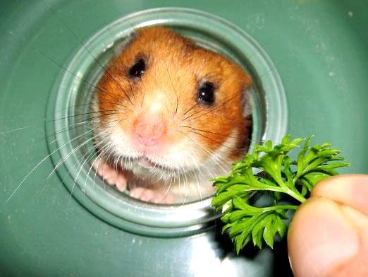 Фото - Чим годувати хом'яка?