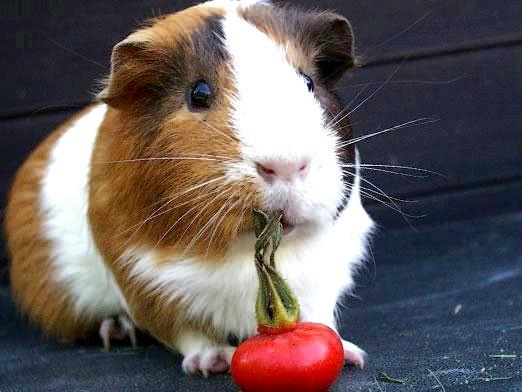 Фото - Чим годувати морську свинку?