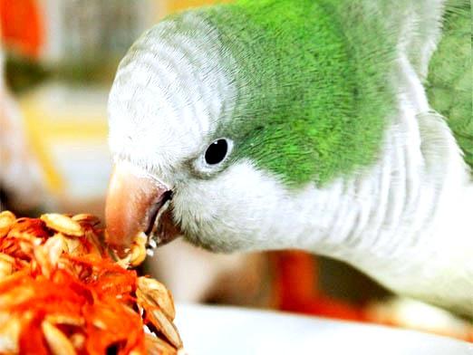 Фото - Чим годувати папугу