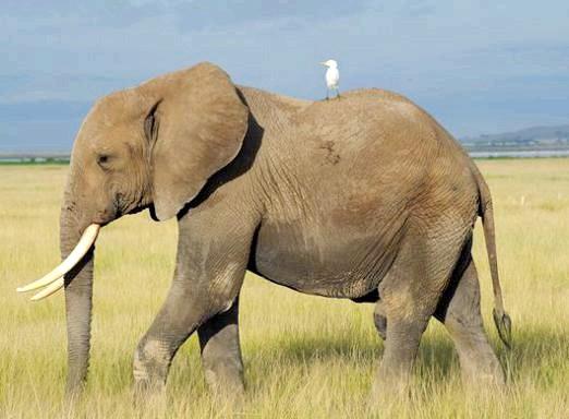 Фото - Чим відрізняється африканський слон від індійського слона?