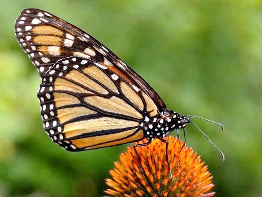 Фото - Чим харчуються метелики?
