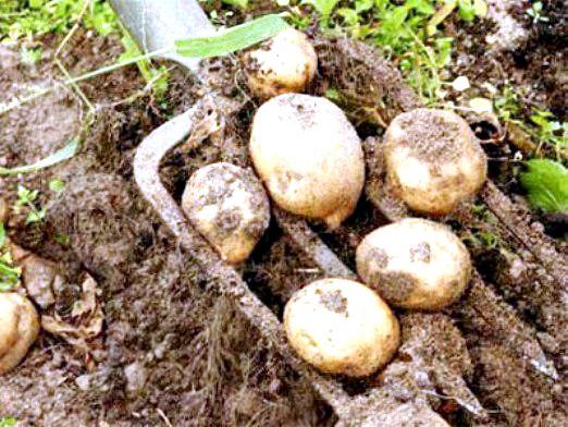 Фото - Коли копати картоплю?