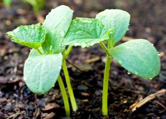 Фото - Коли садять огірки в грунт?