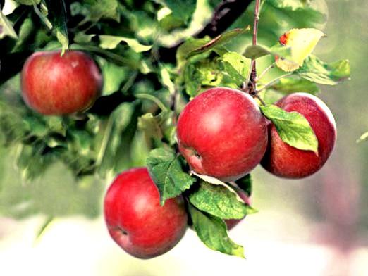Фото - Коли садити яблуні?