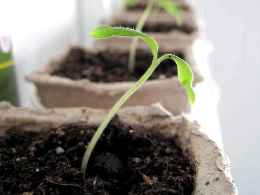 Фото - Коли садити помідори?