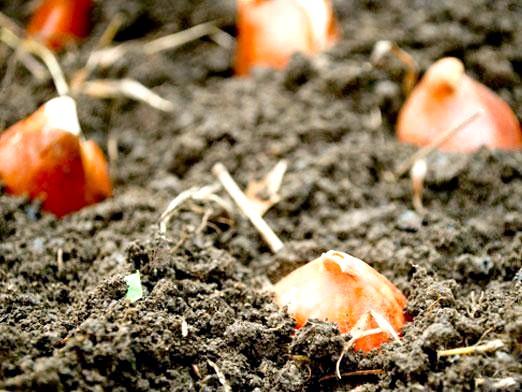 Фото - Коли садити тюльпани?