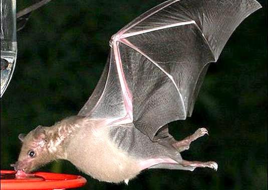Фото - Чим харчуються кажани?