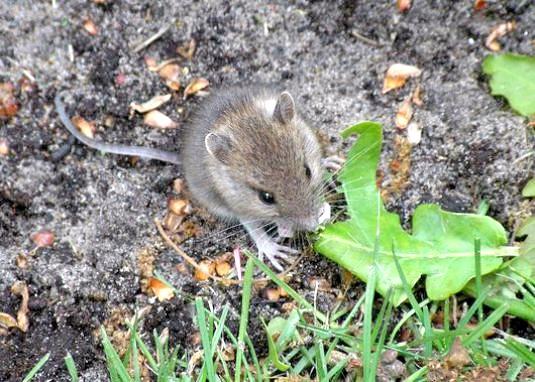 Фото - Чим харчуються миші?