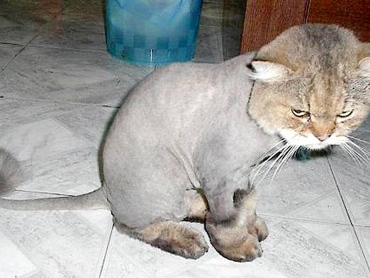 Фото - Чим стригти кішку?