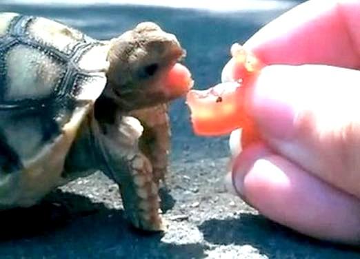 Фото - Що їдять домашні черепахи?