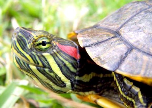 Фото - Що їдять красноухие черепахи?