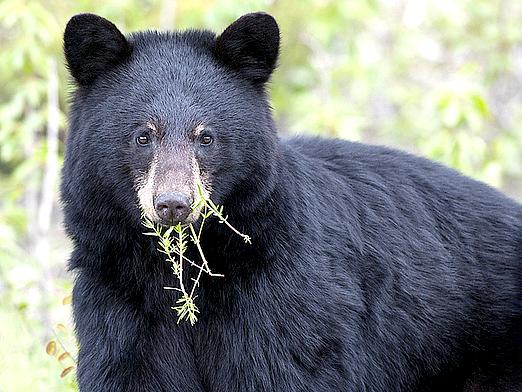 Фото - Що їдять ведмеді?