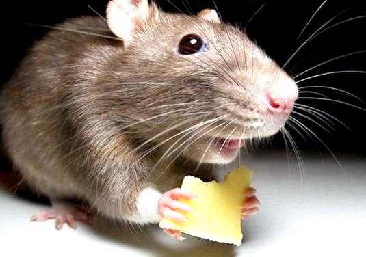 Фото - Що їдять миші?
