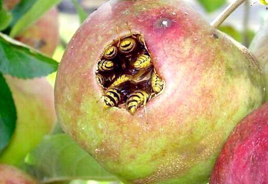 Фото - Що їдять оси?