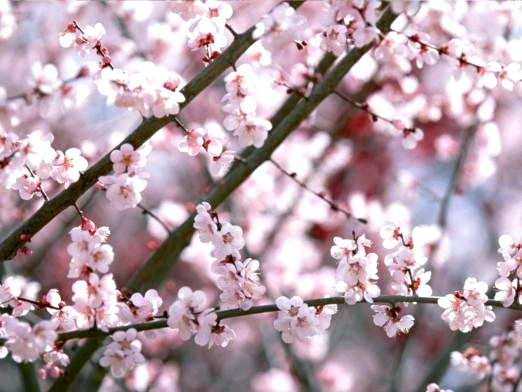 Фото - Коли цвіте сакура?