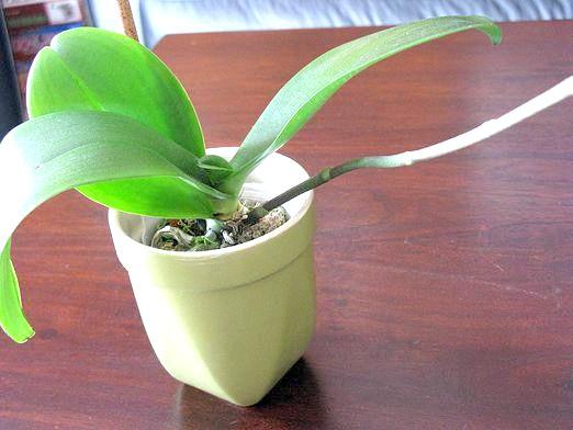 Фото - Чому не цвіте орхідея?