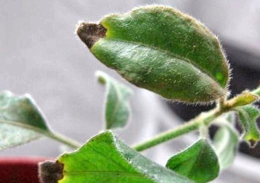 Фото - Чому сохнуть кінчики листя?