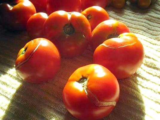 Фото - Чому тріскаються помідори?