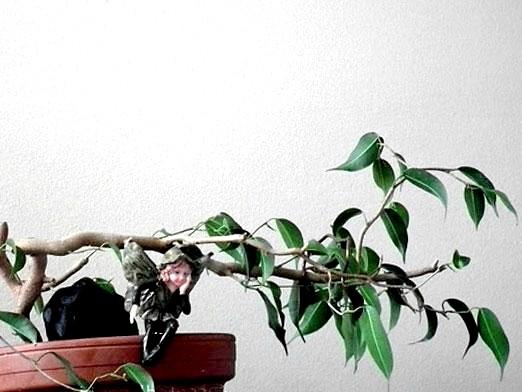 Фото - Чому у фікуса обпадає листя?