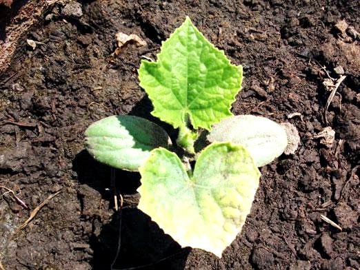 Фото - Чому у огірків жовтіє листя?