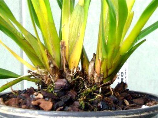Фото - Чому жовтіє орхідея?