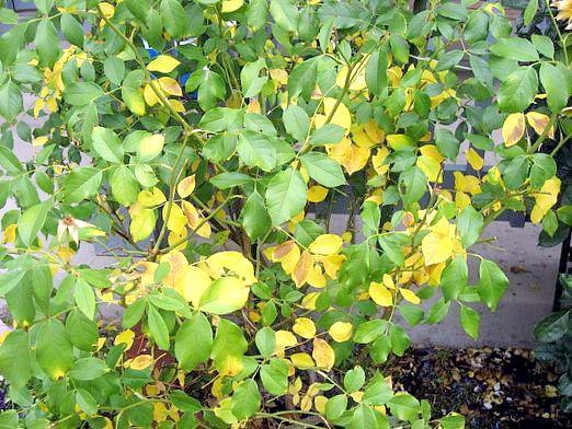 Фото - Чому жовтіє листя у троянди?