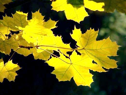 Фото - Чому жовтіє листя?