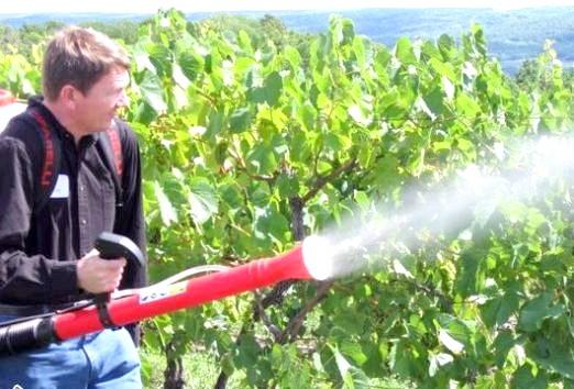 Фото - Чим обробляють виноград?