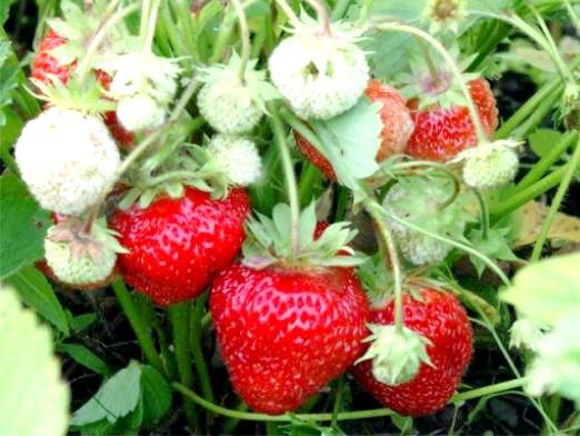 Фото - Чим підгодовувати полуницю?