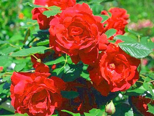 Фото - Чим підгодувати троянди?