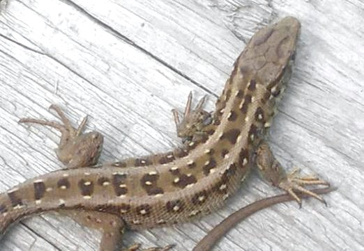 Фото - Що їдять ящірки?