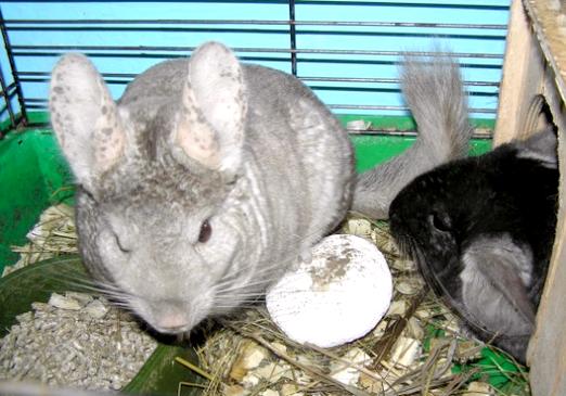 Фото - Що їдять шиншили?