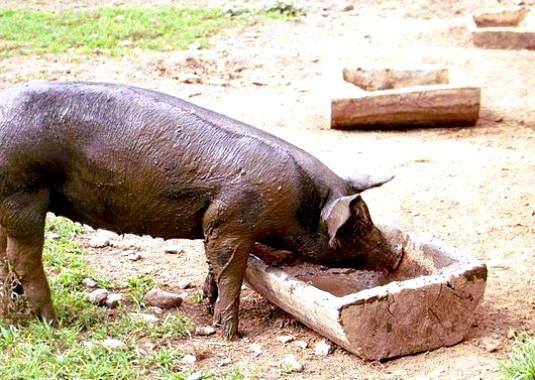 Фото - Що їдять свині?