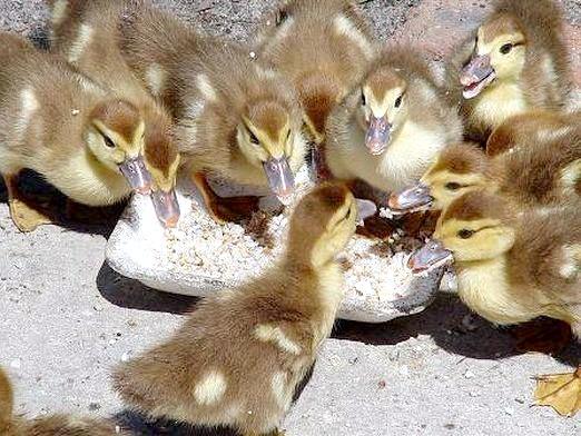 Фото - Що їдять качки?