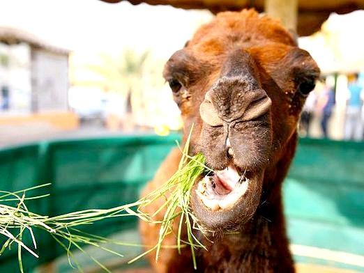 Фото - Що їсть верблюд?