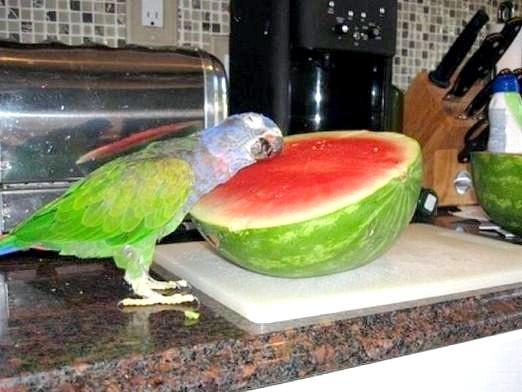 Фото - Що любить папуга?