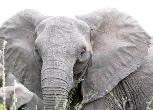 Фото - Що може зупинити слона?