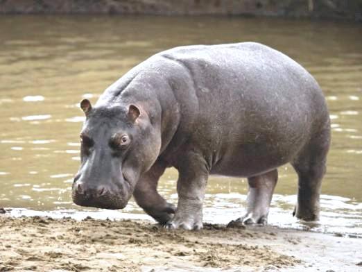 Фото - Що потрібно, щоб зловити бегемота?
