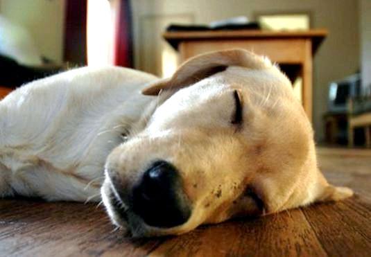 Фото - Що сниться собаці?