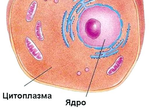 Фото - Що таке цитоплазма?