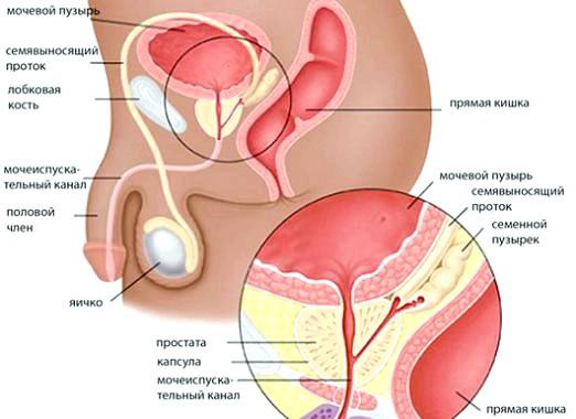 Фото - Що таке простата?