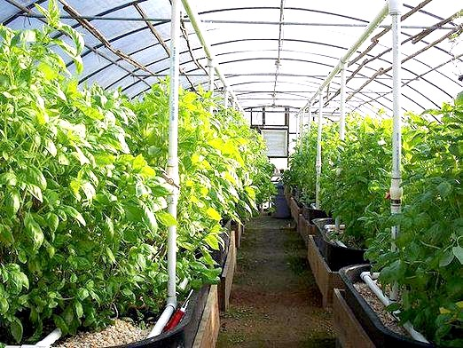 Фото - Що вирощувати в теплиці?